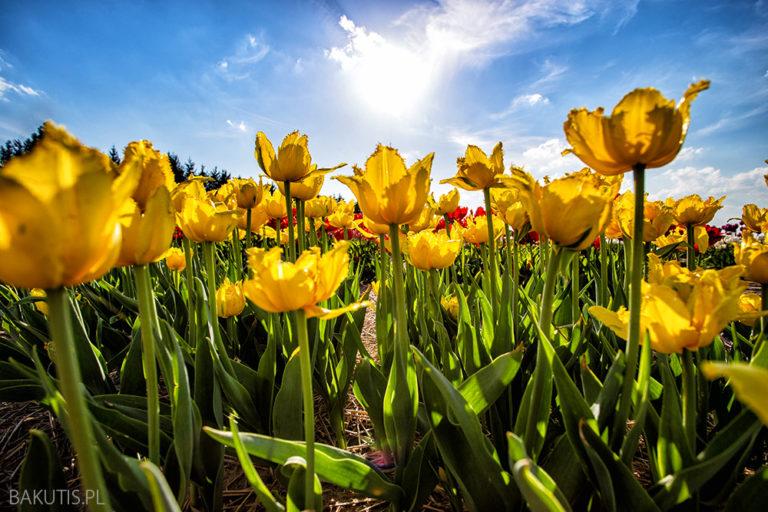 Widzieliście już pola tulipanów w Polsce?