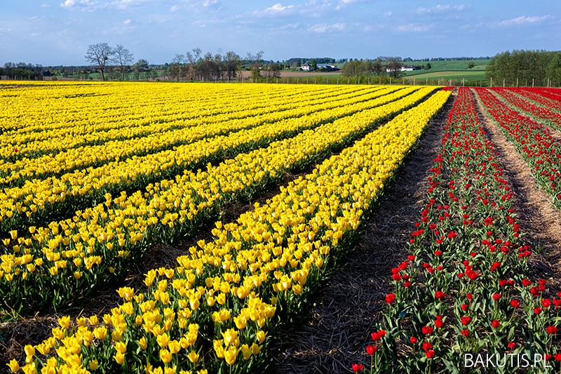 pola tulipanów w Polsce