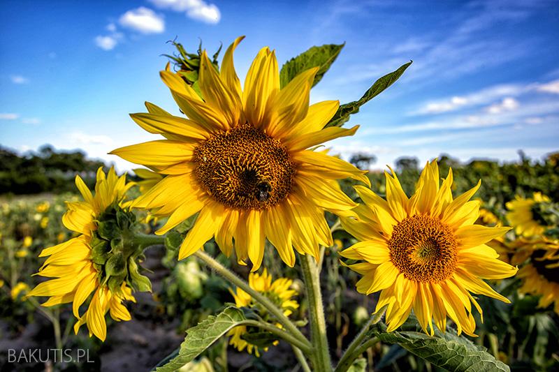 Przychodzi baba na pole słoneczników