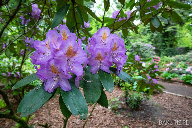 Kwitną azalie w Arboretum Kórnickim