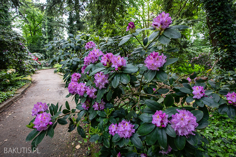 Azalie w Arboretum Kórnickim